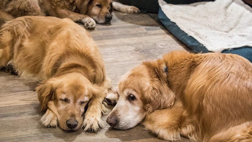 老狗普遍健康問題及其照顧手冊